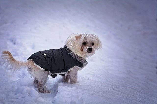 White dog with a coat on