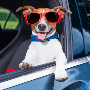 Jack Russell Terrier in car, looking out the window with sunglasses on