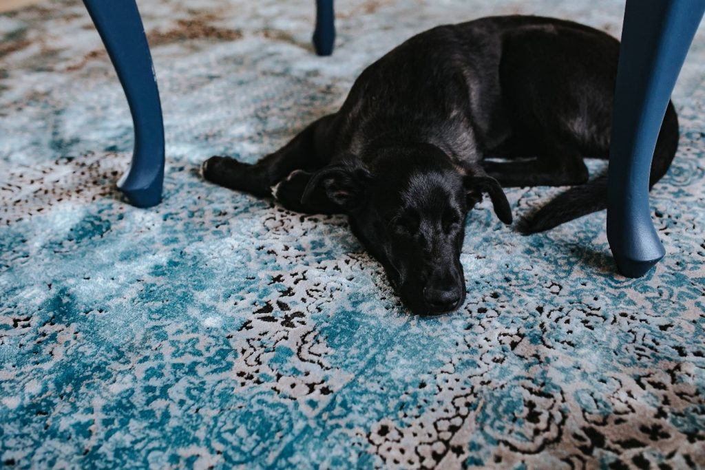 dog on a fabric rug