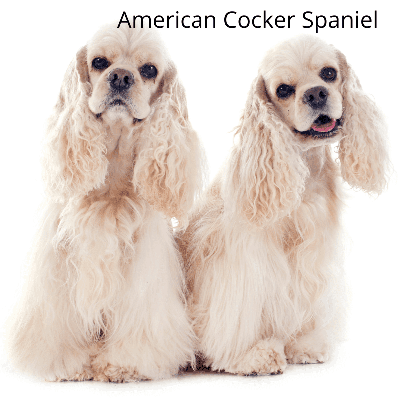 Two sitting up white American Cocker Spaniels