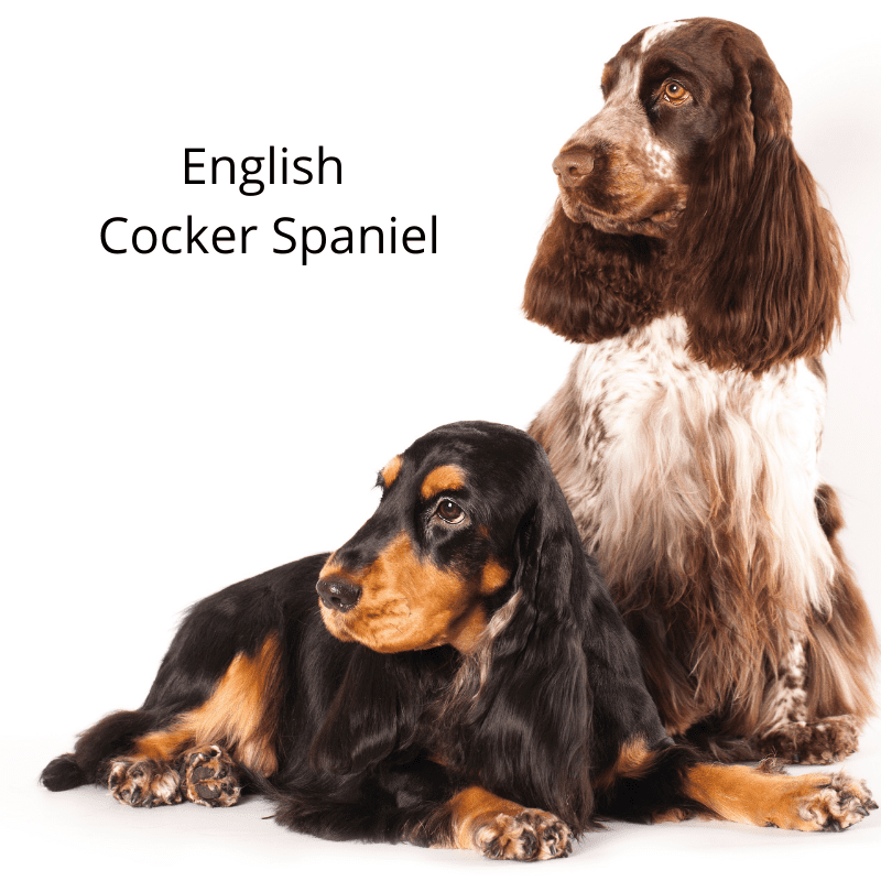 Two English Cocker Spaniels one sitting and the other laying down