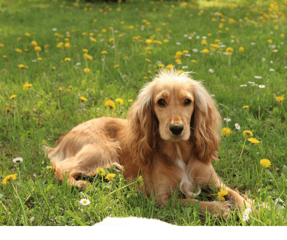 Cocker Spaniel laying on grass