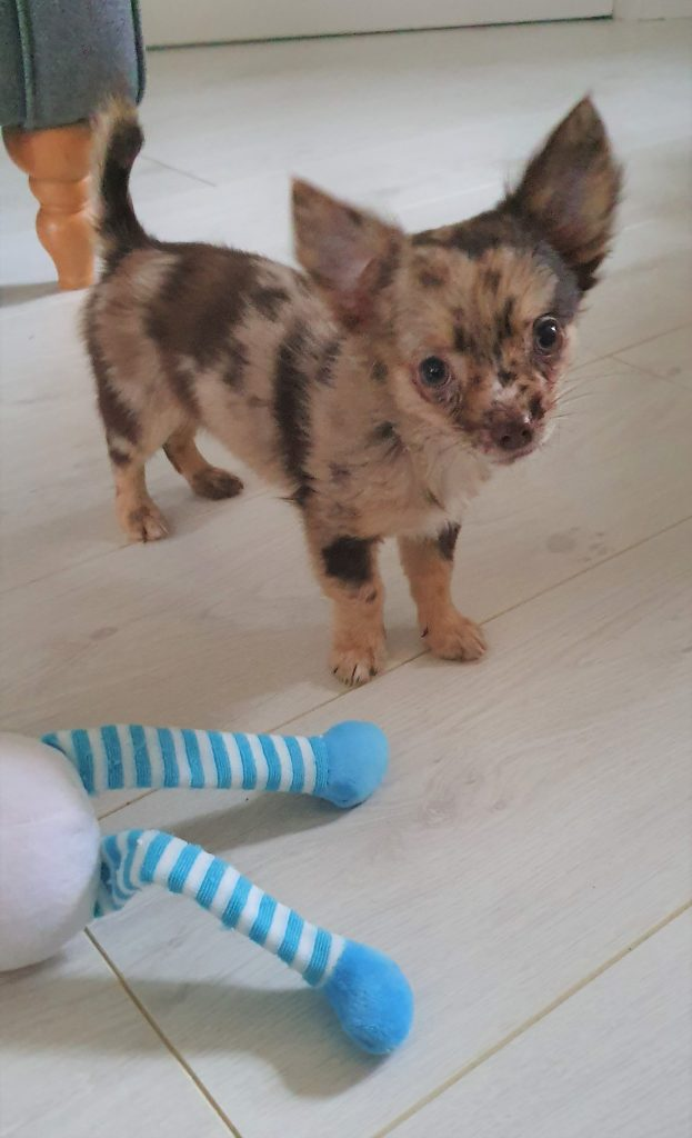 chihuahua puppy with a toy