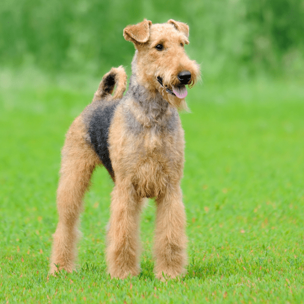 Airedale Terrier dog on the grass