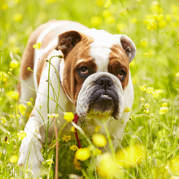 British Bulldog walking in grass