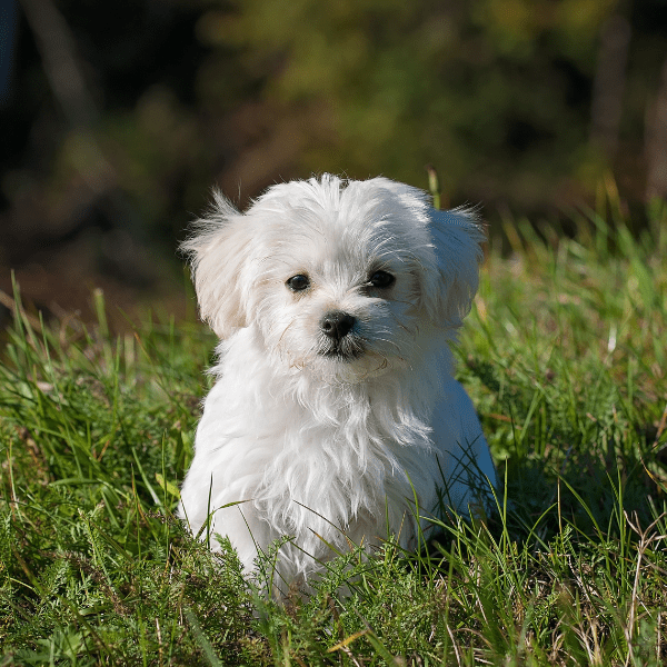 Maltese outside on the grass
