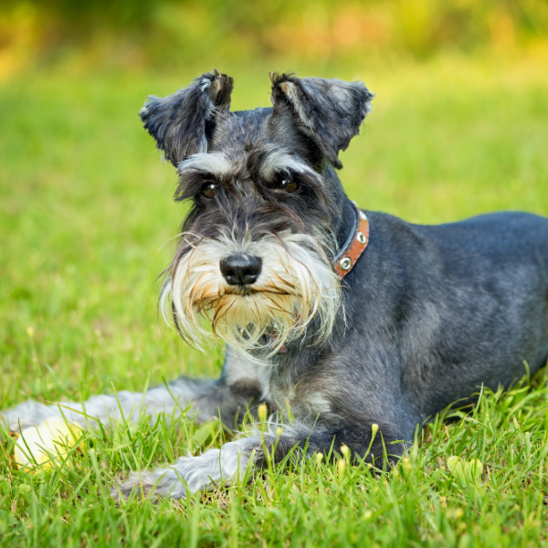 Schnauzer laying on grass