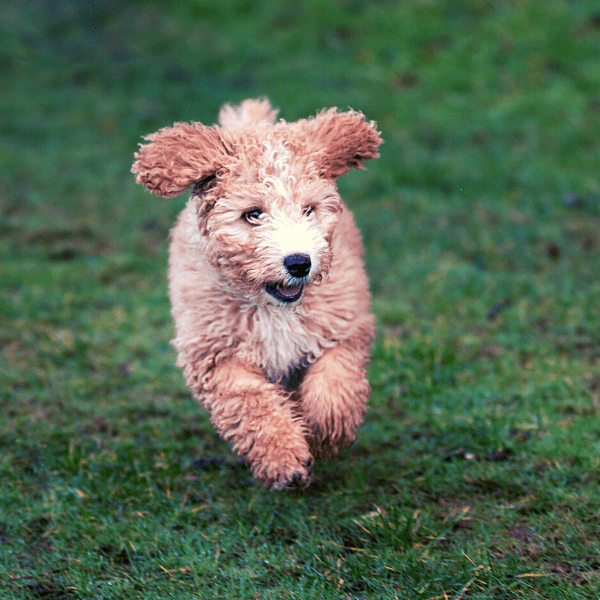 Spanish Water Dog running on grass