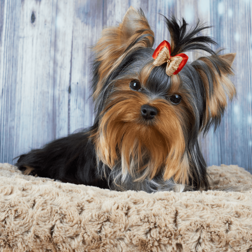 Yorkshire Terrier in dog bed