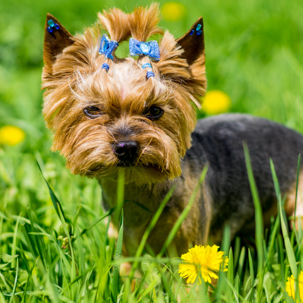 Yorkshire Terrier dog with a bow in hair