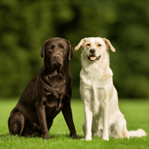 Adult chocolate and golden labrador dogs side by side