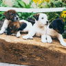 four dogs together on a log