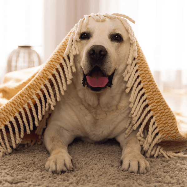 dog under a blanket at home