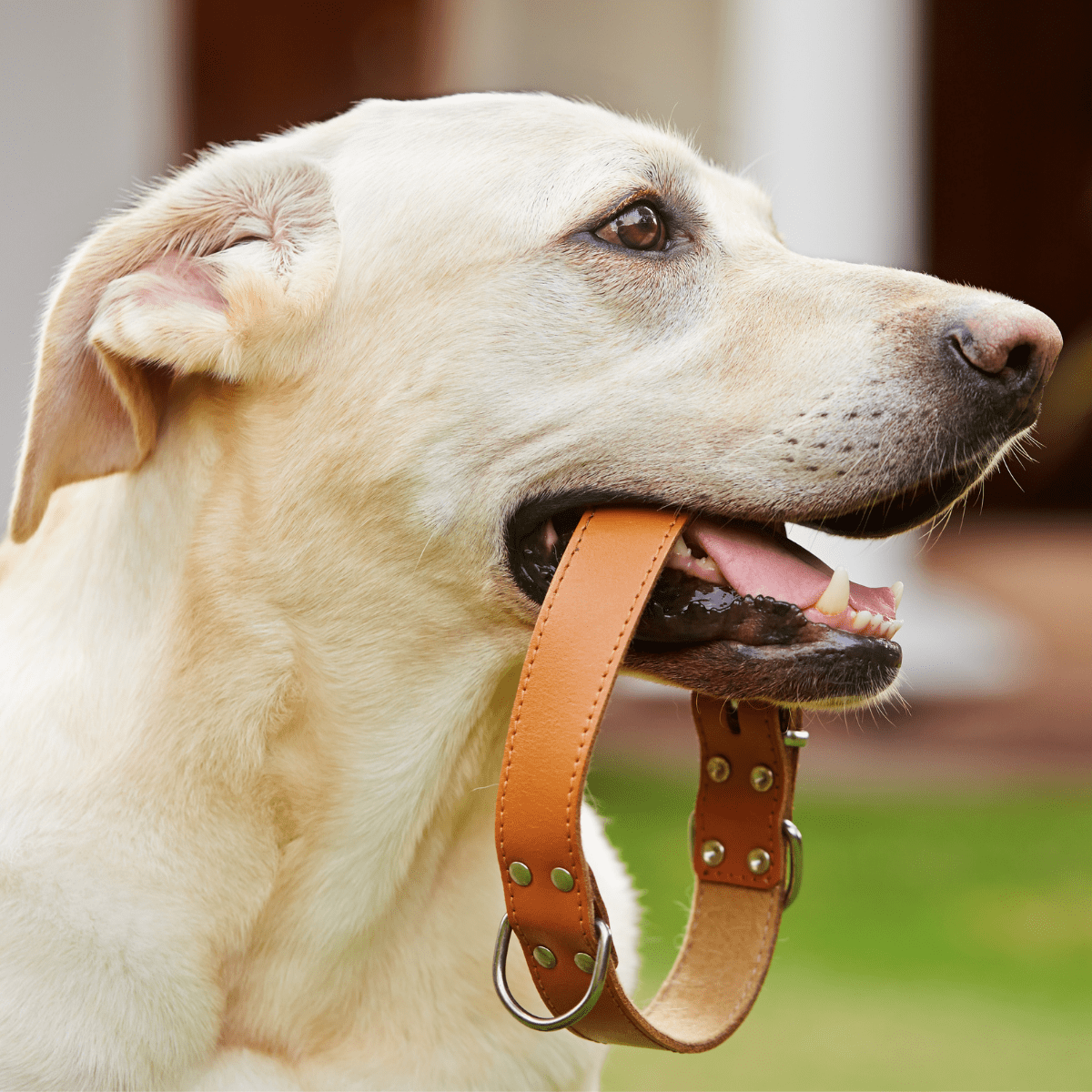 dog with collar in his mouth
