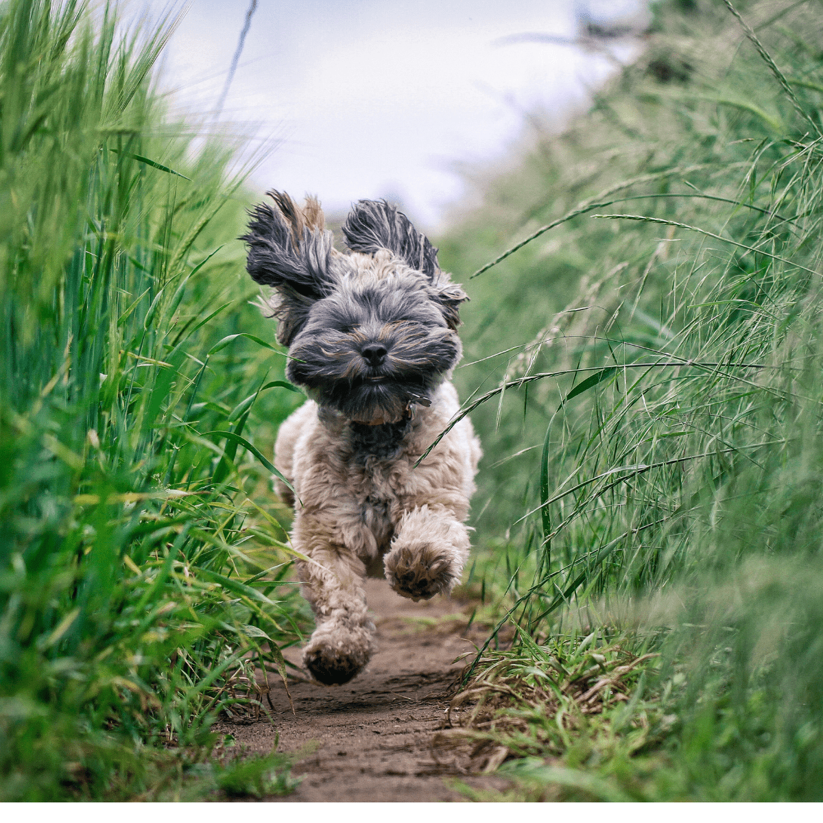 Excited dog running through grass
