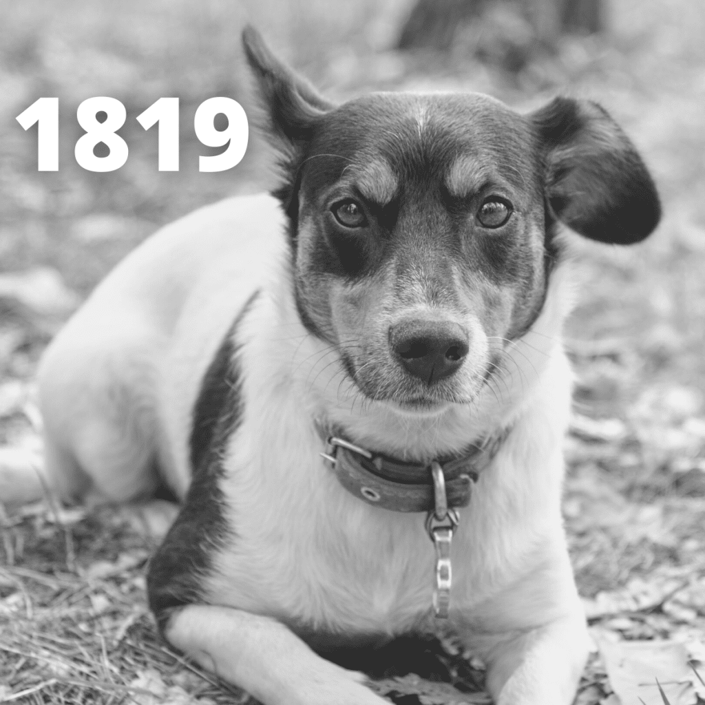 Jack Russell Terrier dog - 1819