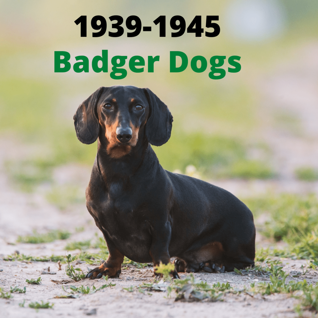 A Dachshund dog - 1939-1945
