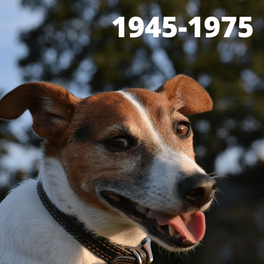 Jack Russell Terrier dog - 1945-1975