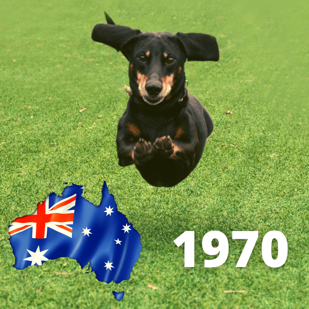 A Dachshund dog running - 1970
