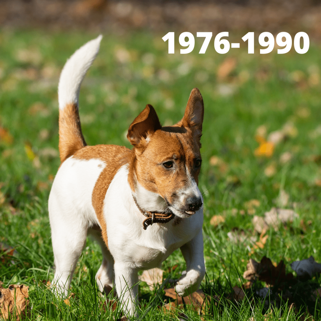 Jack Russell Terrier dog - 1976-1990
