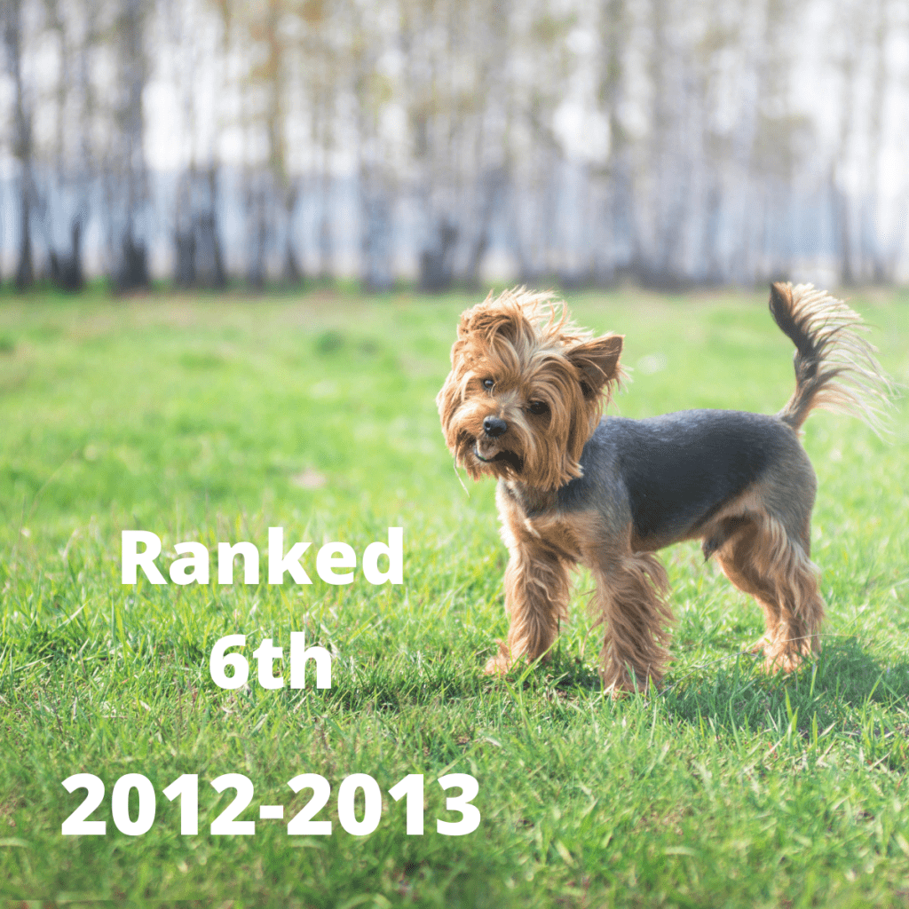 Yorkshire Terrier dog with text 2012-2013 Ranked 6TH