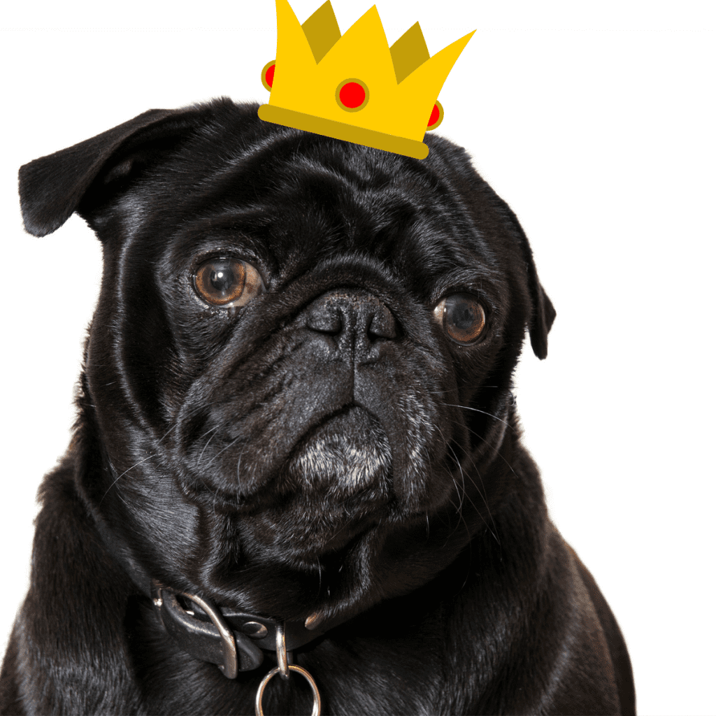 A Pug dog with a funny Royal Crown on