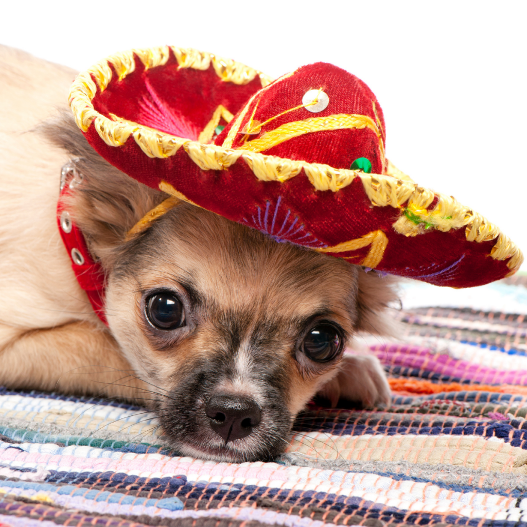 Chihuahua with a Mexican hat on
