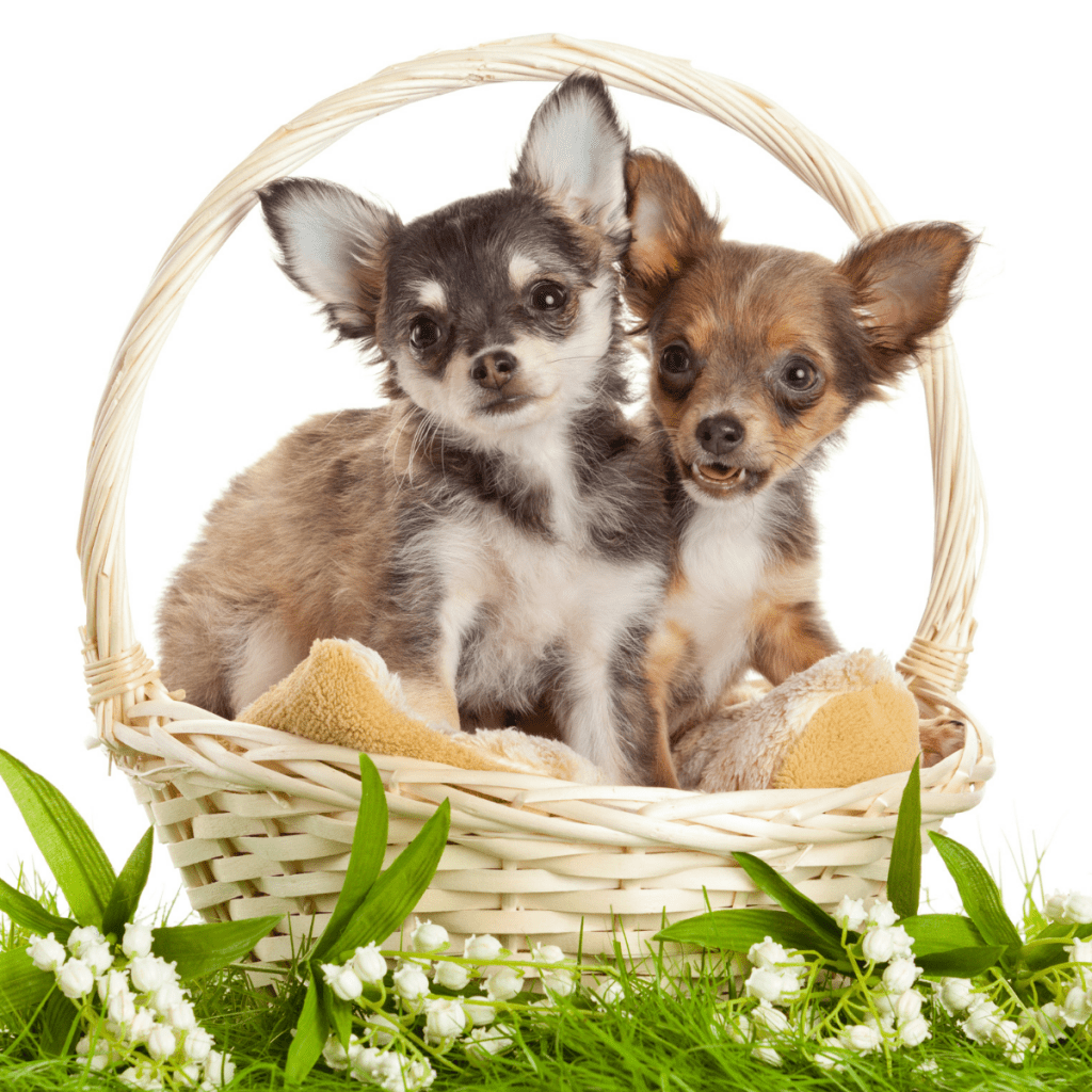 Chihuahua puppies in a basket