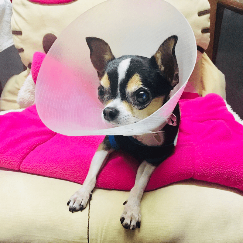 Dog at home with cone on after surgery