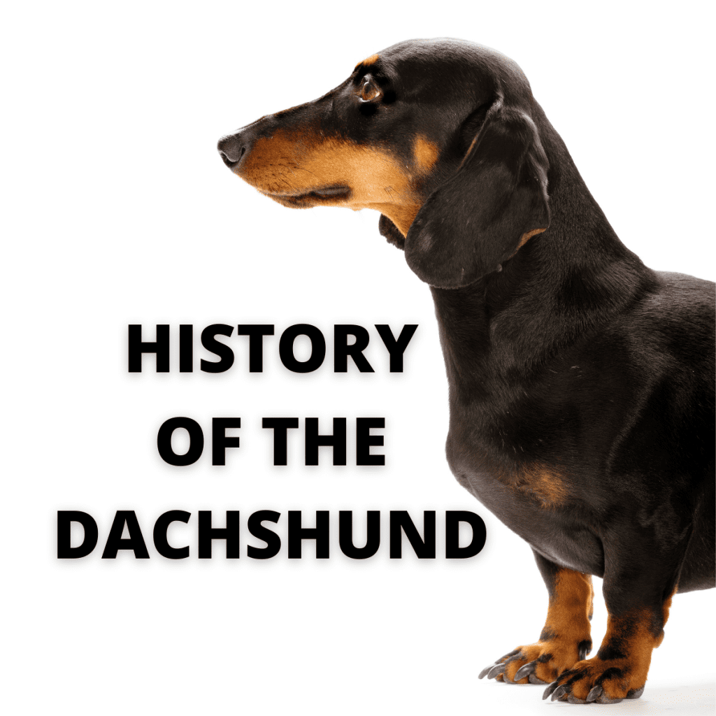 Dachshund dog and text - History of the Dachshund