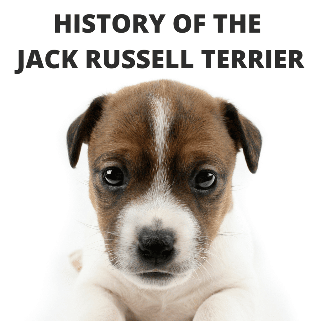 Jack Russell Terrier and text - History of the Jack Russell Terrier