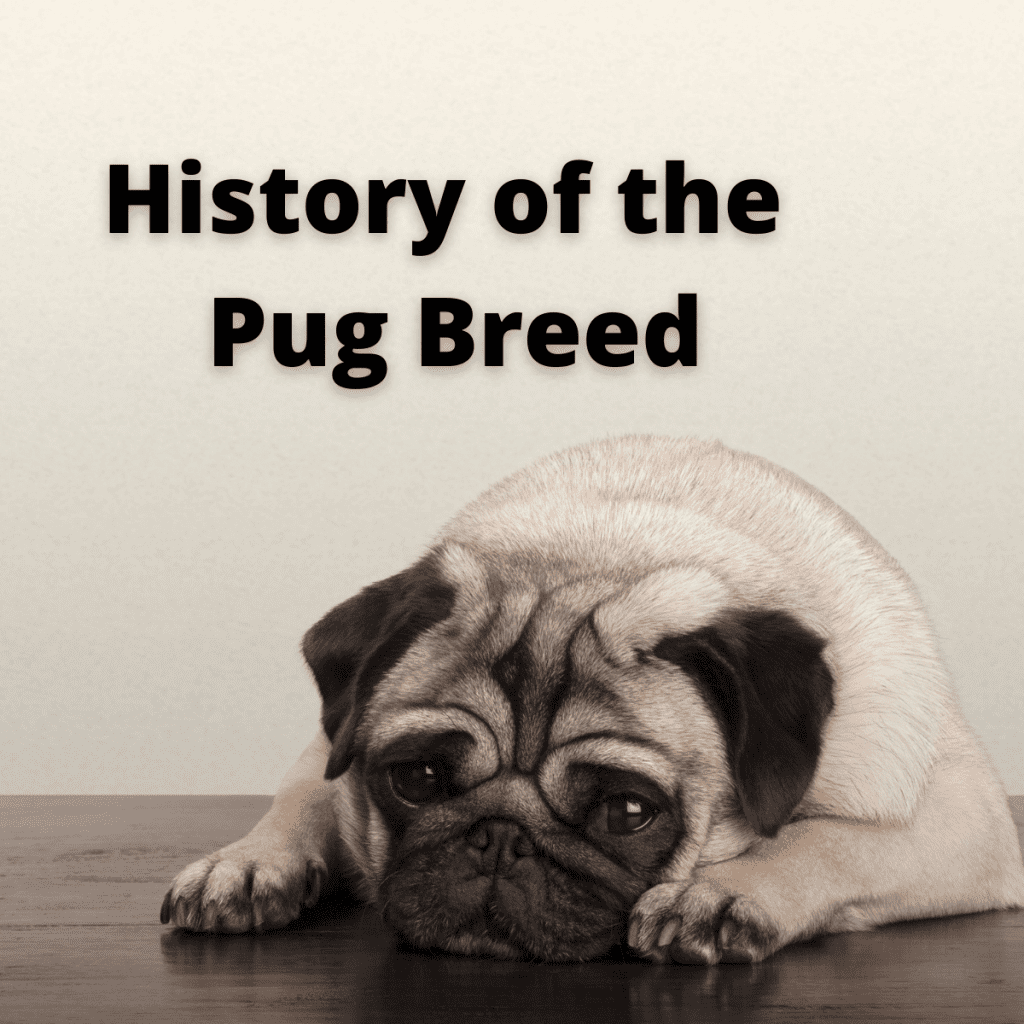 a Pug laying down, text History of the Pug Breed