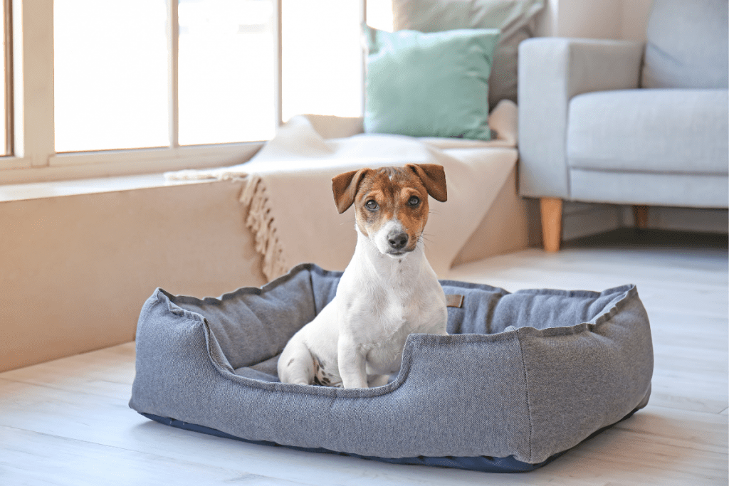 Jack Russell Terrier in a dog bed