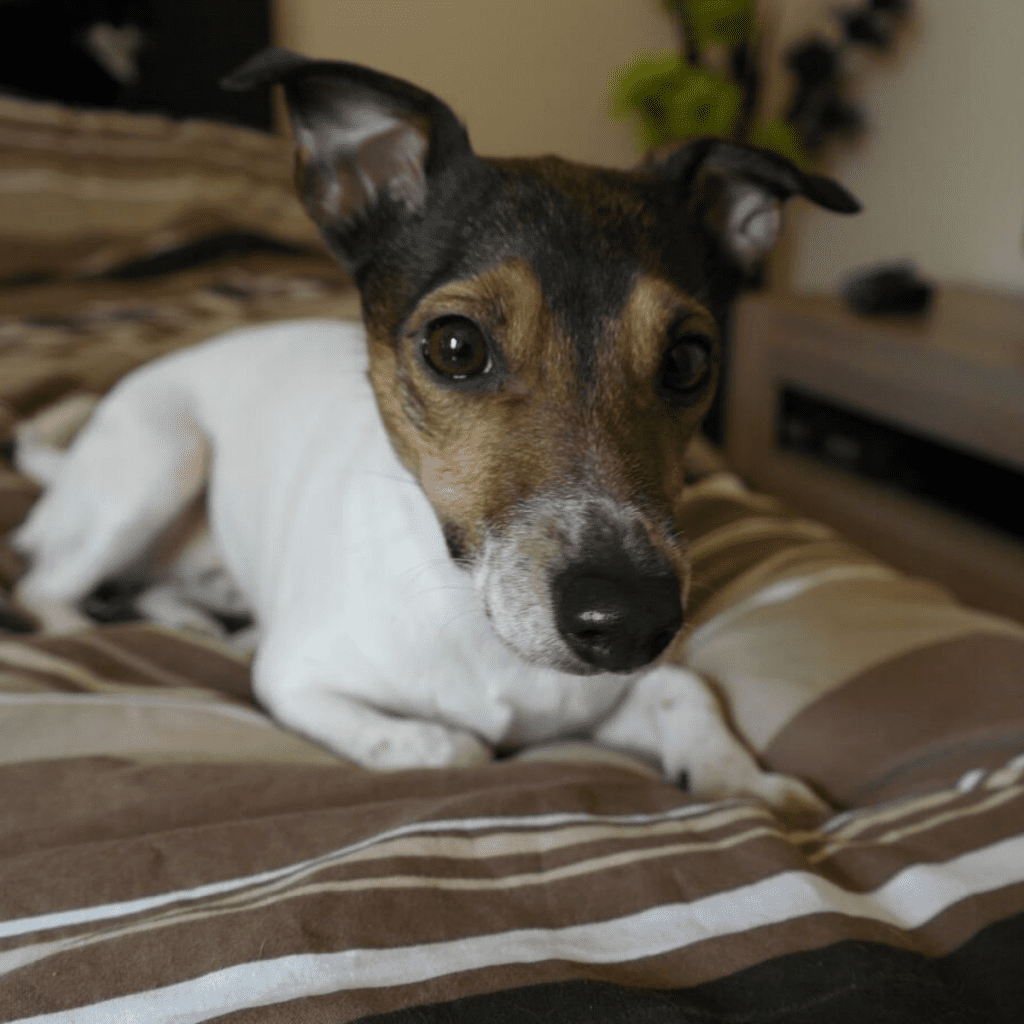 Jack Russell Terrier on the bed