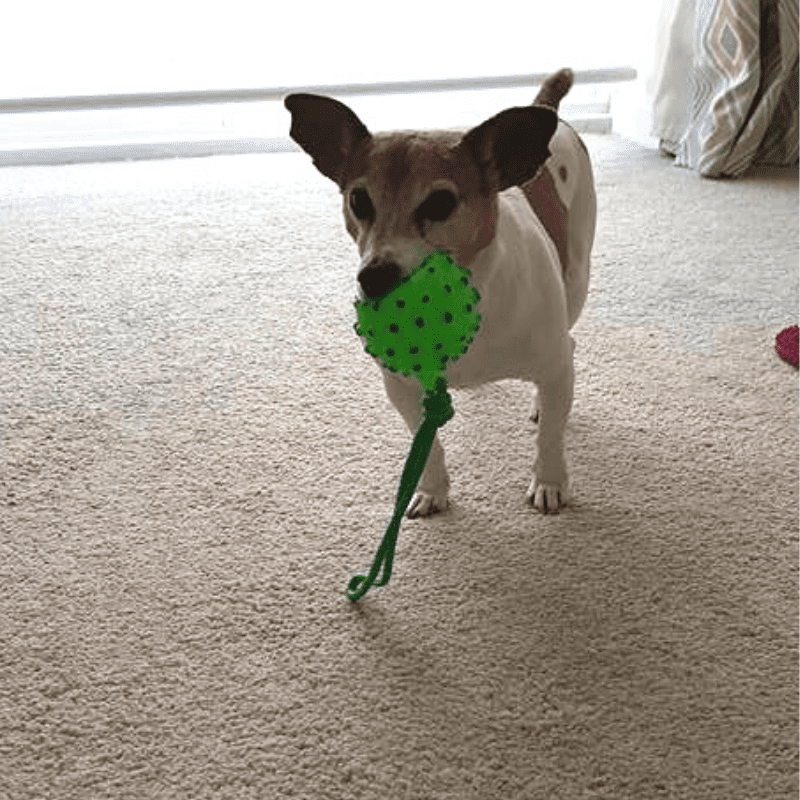 Jack Russell with a dog toy in his mouth