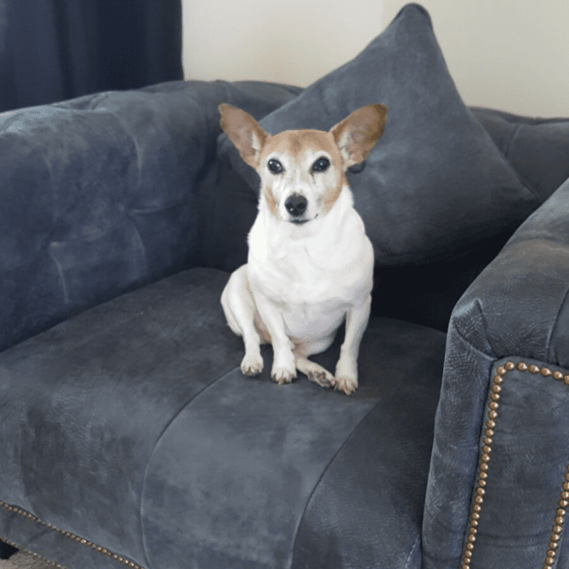 Jack Russell sitting on grey sofa