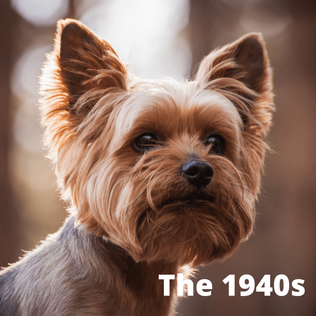 Yorkshire Terrier dog with text The 1940s
