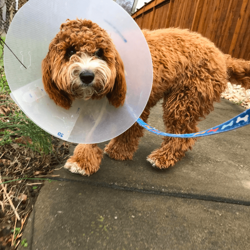A dog walking on a lead with a cone around head