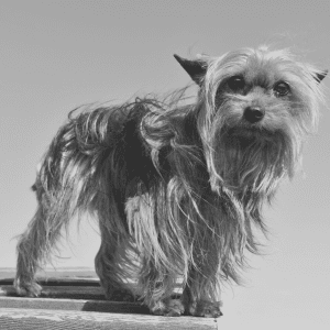 A Yorkshire Terrier dog