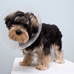 A dog on vets table with cone on head