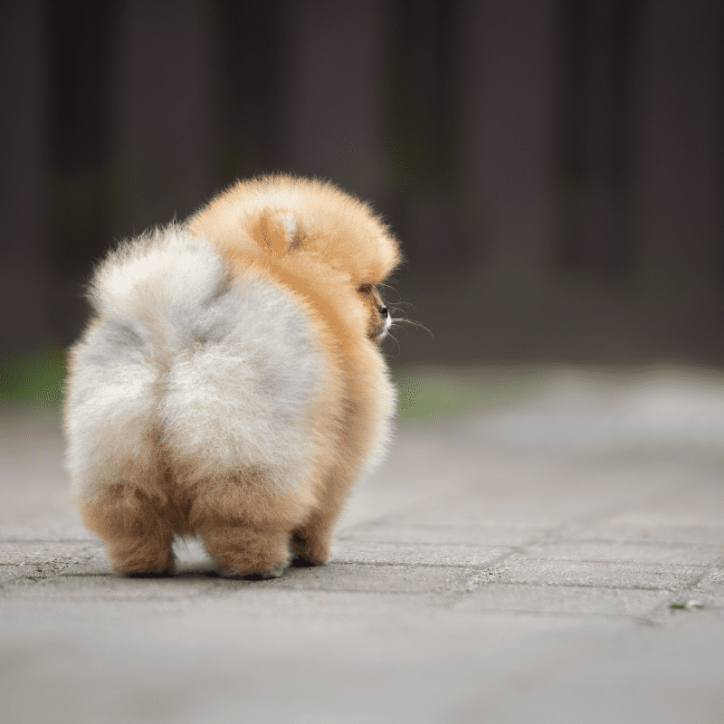 A dogs fluffy bum
