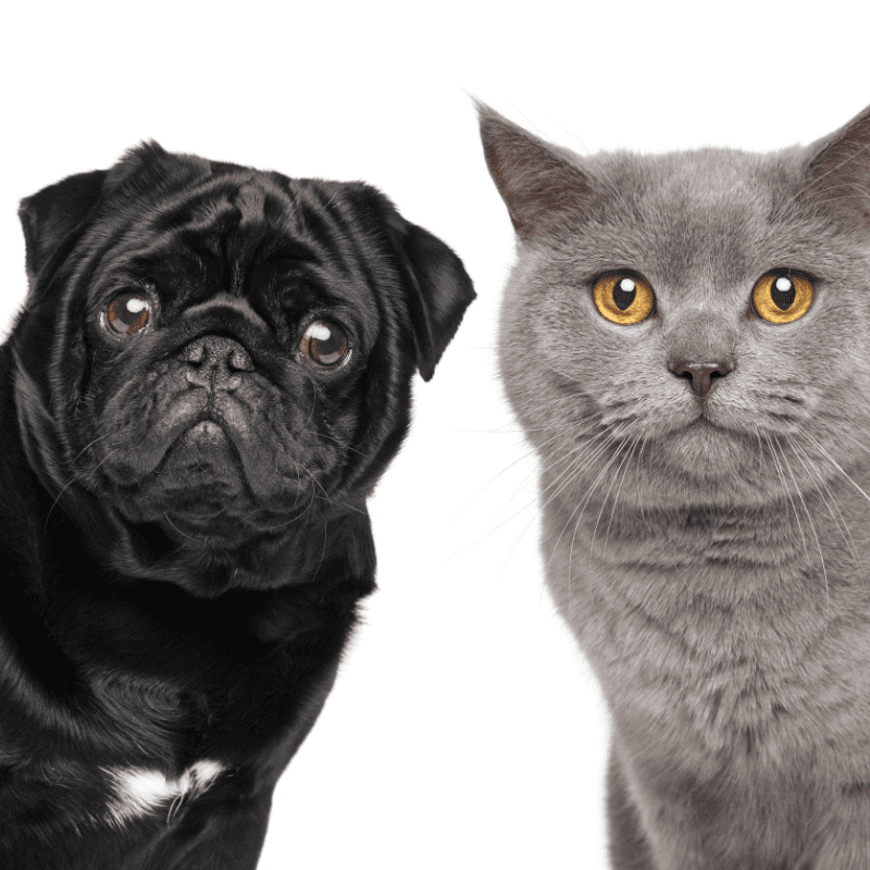 Black Pug and a grey cat looking at the camera together