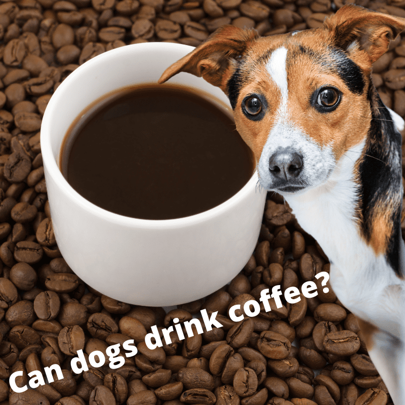 coffee in a mug on coffee beans, with a dog looking at the camera - text saying. Can dogs drink coffee?