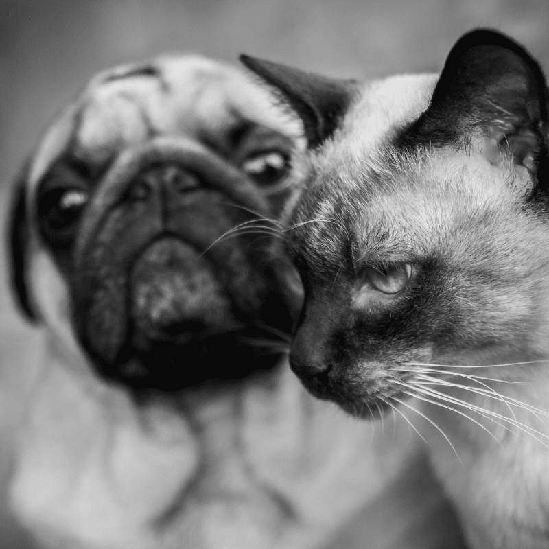 a cat and a pug together