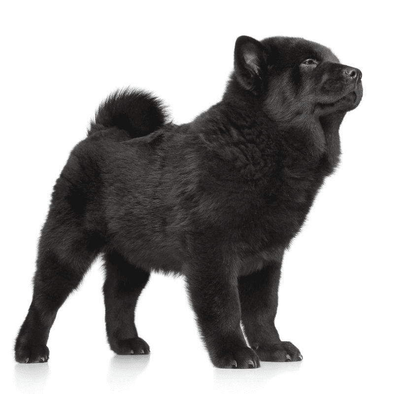 Chow Chow black colour puppy standing up
