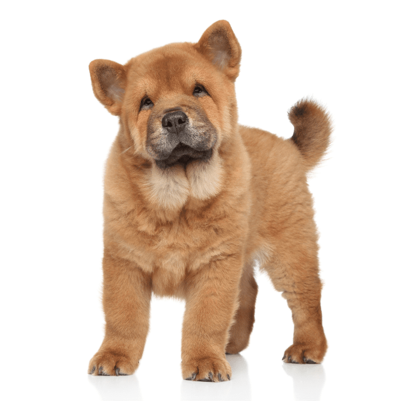 Chow Chow dog breed tan colour Puppy