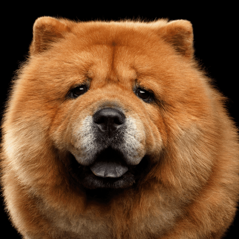 Close-up Portrait of Chow Chow Dog Looking in Camera on Isolated Black Background, front view