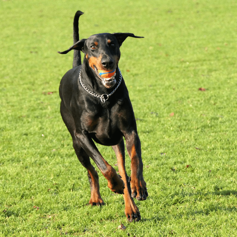 Dobermann dog running towards the camera with a ball