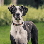 Black and white Great Dane staring at camera