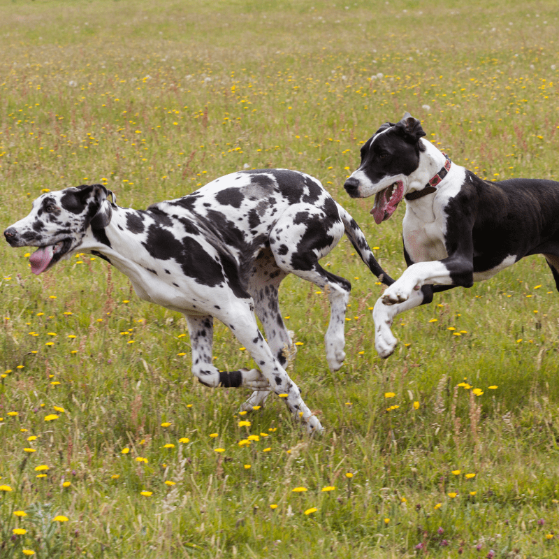 Harlequin and Boston Great Danes running and playing in a field of dandelions.